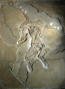 640px-Archaeopteryx_lithographica_(Berlin_specimen)