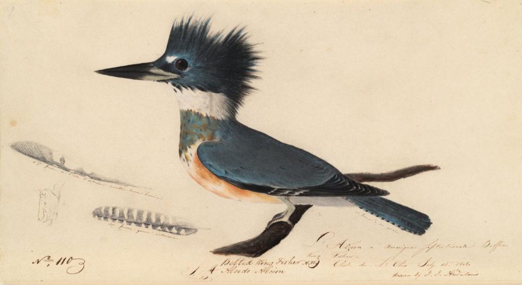 Audubon Kingfisher